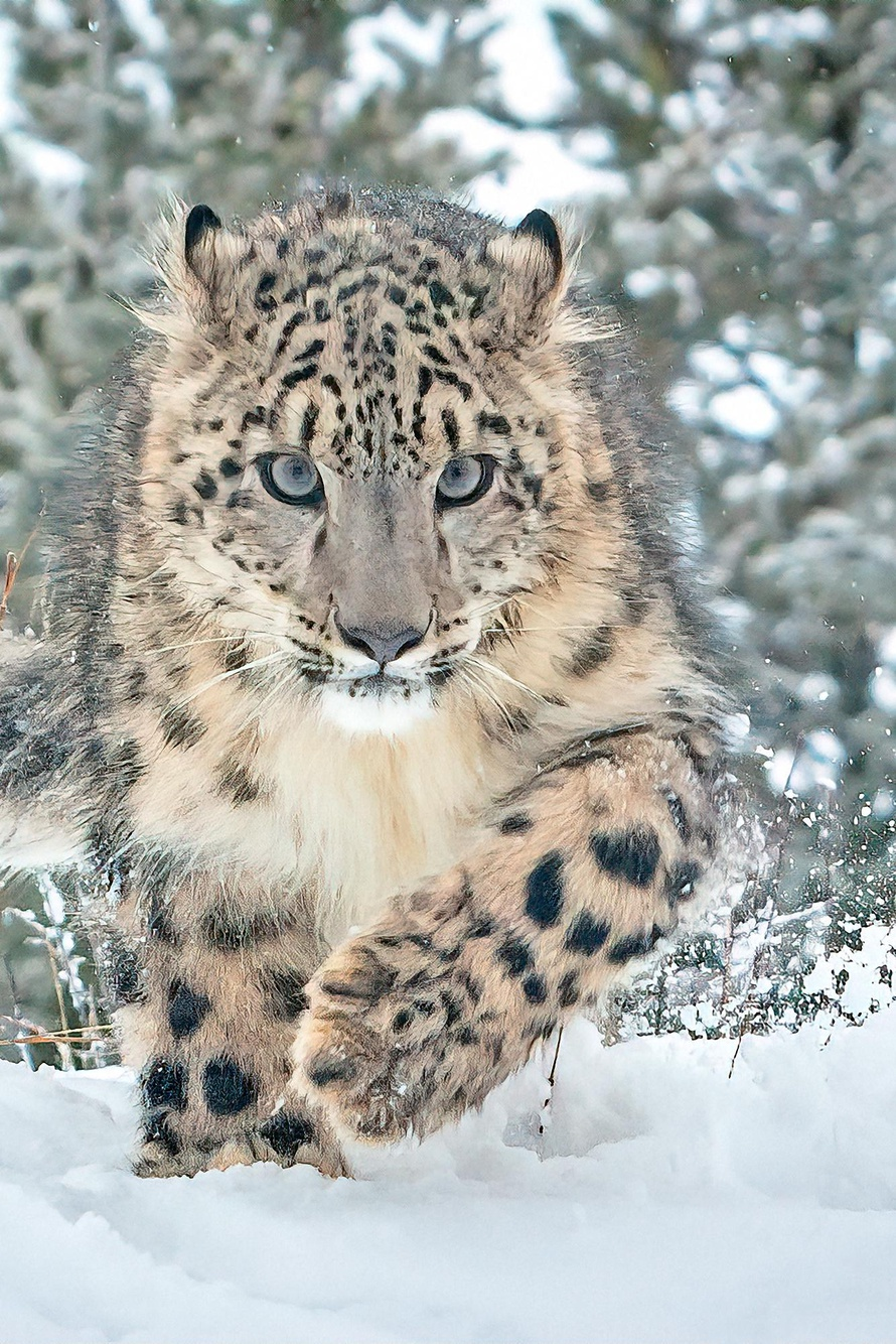 Protect Snow Leopards