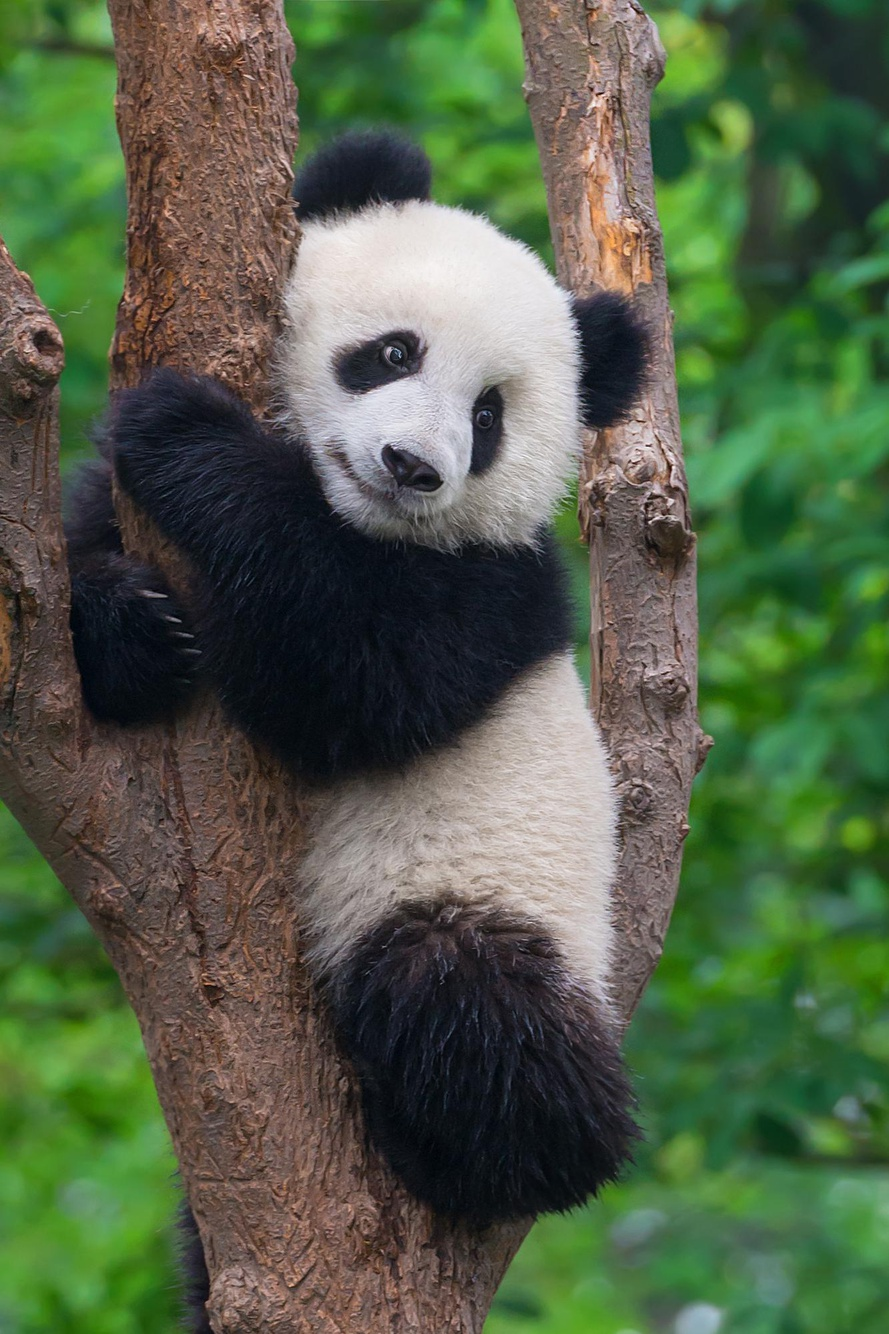 Protect Giant Pandas