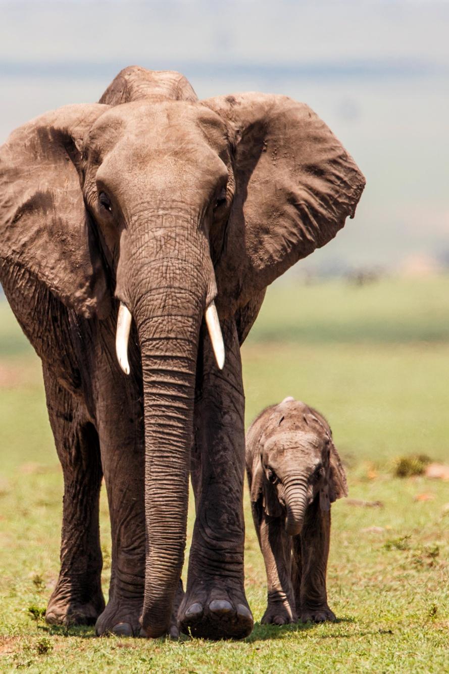 Protect African Elephants