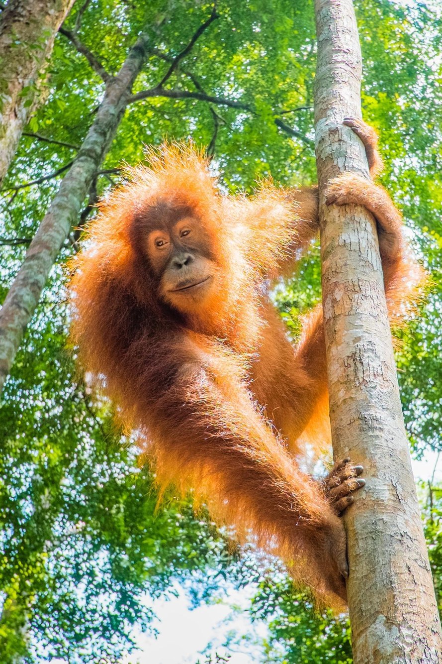 Save Bornean Orangutans