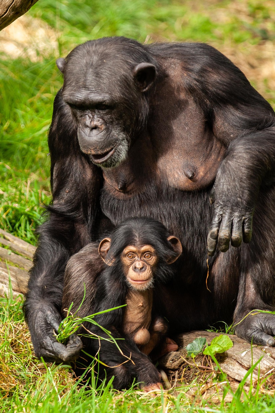 Protect Chimpanzees