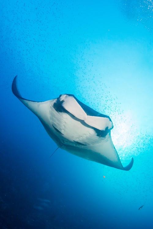 Protect Manta Rays