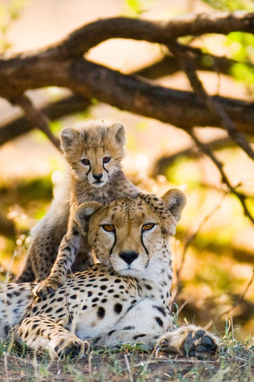 Save Cheetahs