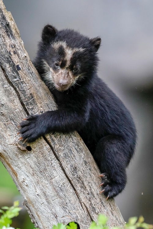 Protect Spectacled Bears