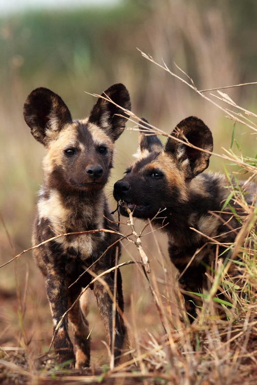 Protect African Wild Dogs