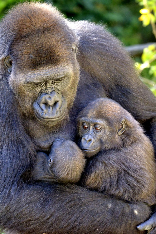 Protect Mountain Gorillas