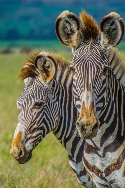 Protect Grevy's Zebra