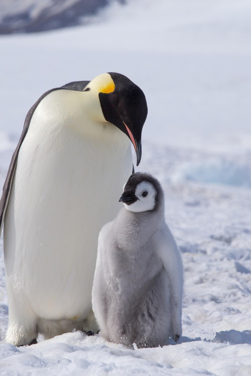 Save Penguins